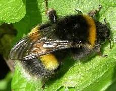 Picture - White-tailed bumblebee - Bombus lucorum