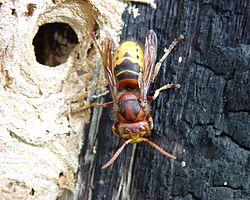 Image missing: A European hornet by its nest