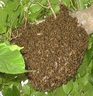 A swarm of honeybees