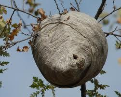 Image missing: A wasp nest